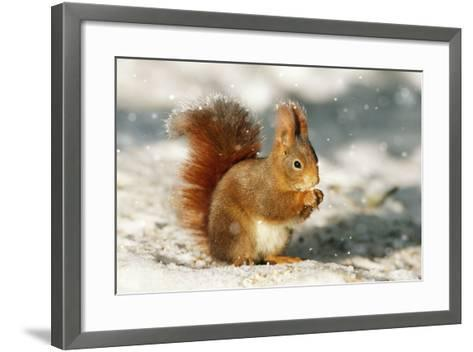 Red Squirrel--Framed Art Print