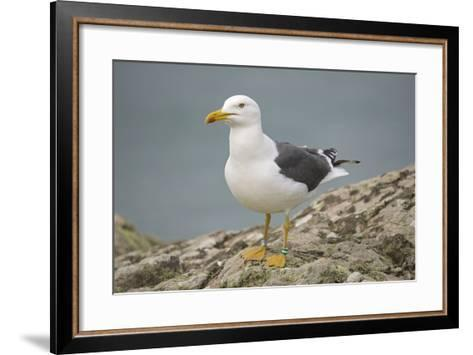 Great Black-Backed Gull--Framed Art Print