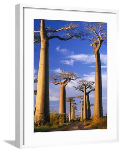 Boab Trees at Sunset--Framed Art Print