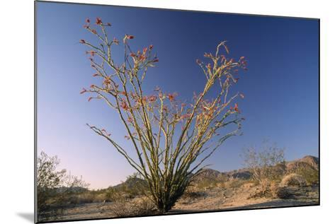 Cactus Ocotillo--Mounted Photographic Print