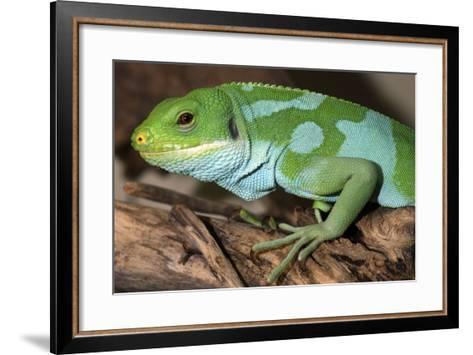 Fiji Banded Iguana Male--Framed Art Print