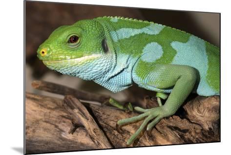 Fiji Banded Iguana Male--Mounted Photographic Print