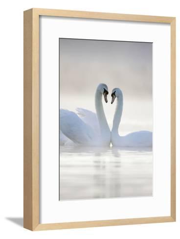 Mute Swans Pair in Courtship Behaviour Back-Lit--Framed Art Print