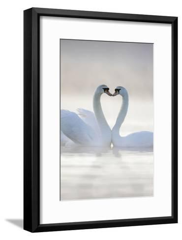 Mute Swans Pair in Courtship Behaviour--Framed Art Print