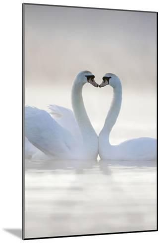 Mute Swans Pair in Courtship Behaviour--Mounted Photographic Print