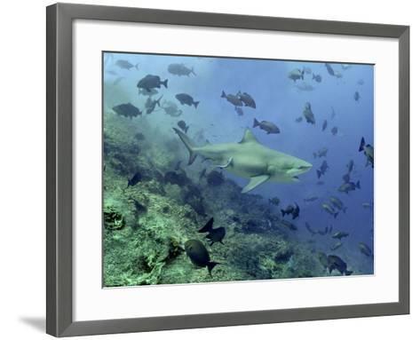 Bull Shark Swimming Through Fish--Framed Art Print