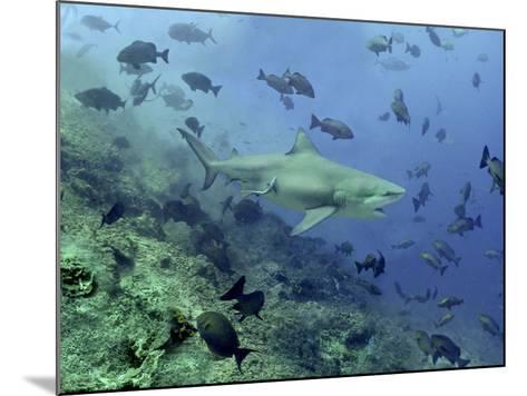 Bull Shark Swimming Through Fish--Mounted Photographic Print