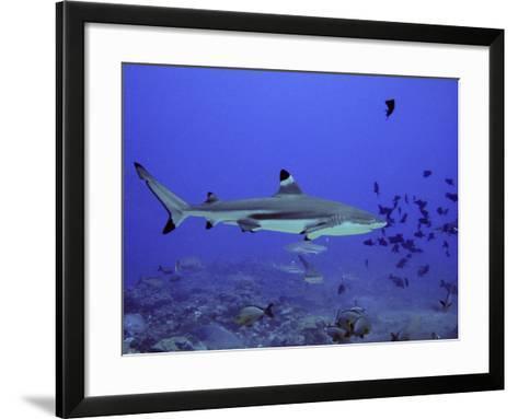 Blacktip Reef Shark Swimming Through Fish--Framed Art Print