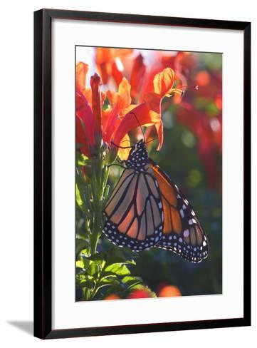 Monarch Butterfly Clings to a Red-Flowered Plant--Framed Art Print