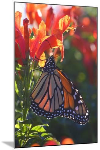 Monarch Butterfly Clings to a Red-Flowered Plant--Mounted Photographic Print