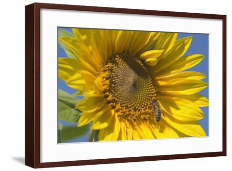 Sunflower a Honeybee (Apis Mellifera) Gathers--Framed Art Print