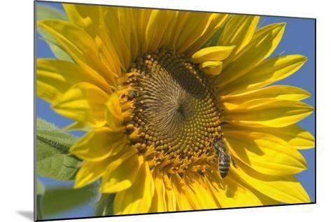 Sunflower a Honeybee (Apis Mellifera) Gathers--Mounted Photographic Print