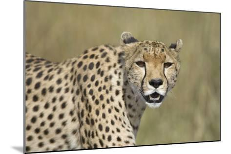 Cheetah Adult Female--Mounted Photographic Print