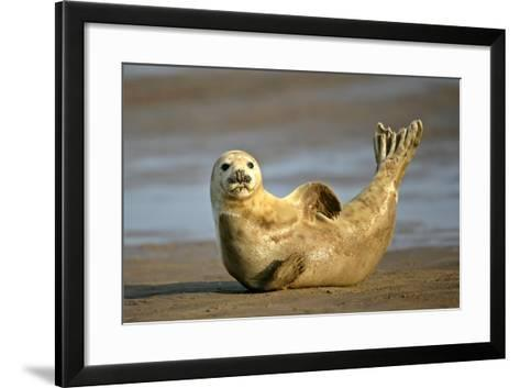 Grey Seal Resting on Beach Stretching it's Body--Framed Art Print