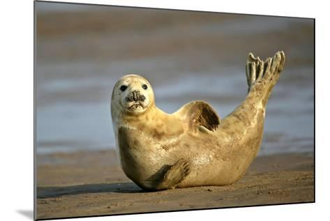 Grey Seal Resting on Beach Stretching it's Body--Mounted Photographic Print