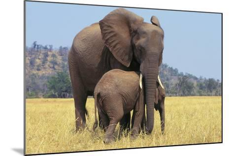 African Elephant Female, Cow with Young Calf--Mounted Photographic Print