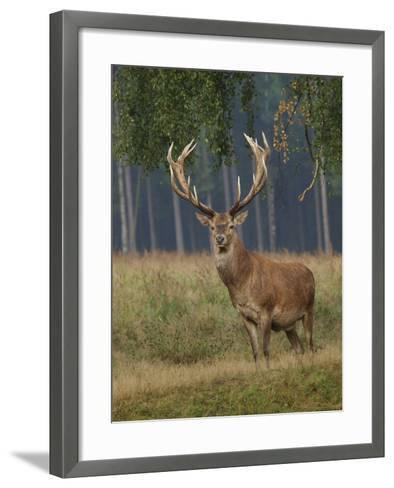 Red Deer Stag--Framed Art Print