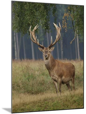 Red Deer Stag--Mounted Photographic Print