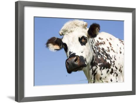 Close Up of Head Normande Tri-Coloured Cow--Framed Art Print