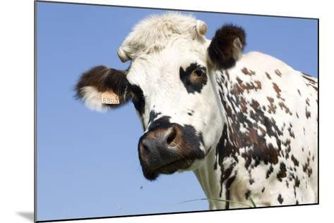 Close Up of Head Normande Tri-Coloured Cow--Mounted Photographic Print