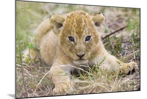 Lion 3-4 Week Old Cub--Mounted Photographic Print