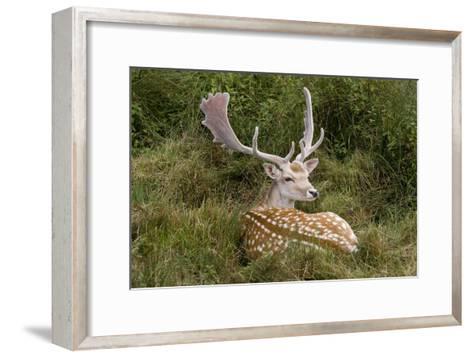Fallow Deer Male in Velvet Resting in Undergrowth--Framed Art Print