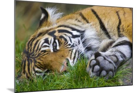 Sumatran Tiger--Mounted Photographic Print