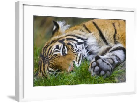 Sumatran Tiger--Framed Art Print