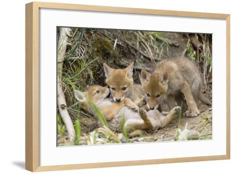 Coyote Young Wild Pups Playing Near their Den--Framed Art Print