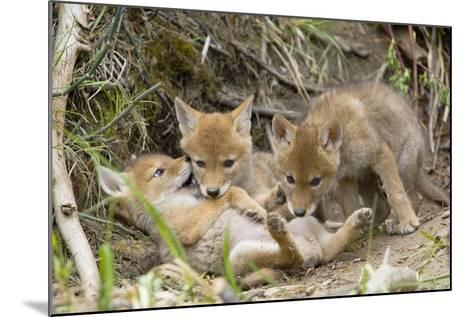 Coyote Young Wild Pups Playing Near their Den--Mounted Photographic Print