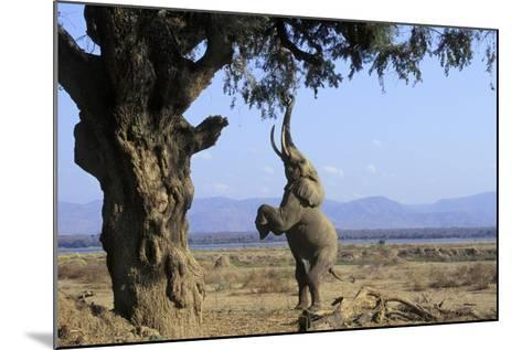 African Elephant Bull, on Hind Legs, Feeding--Mounted Photographic Print