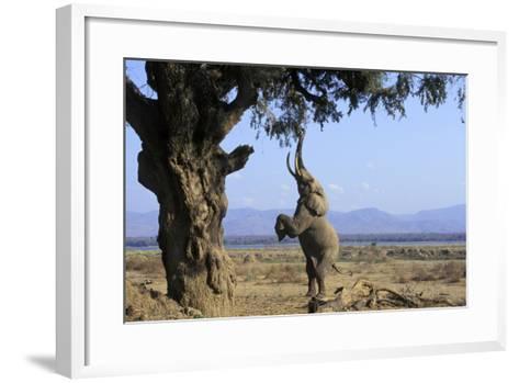 African Elephant Bull, on Hind Legs, Feeding--Framed Art Print