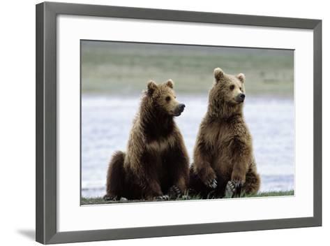 Alaskan Brown Bear Sub-Adults--Framed Art Print