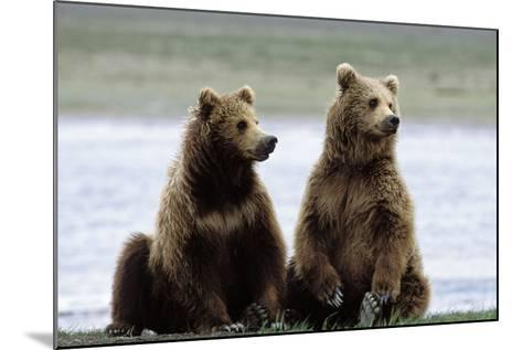 Alaskan Brown Bear Sub-Adults--Mounted Photographic Print