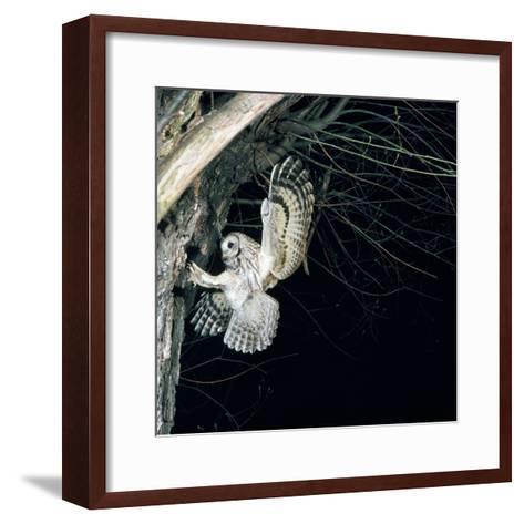 Tawny Owl in Flight, Towards Nest--Framed Art Print