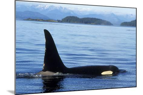 Orca Whale Male--Mounted Photographic Print
