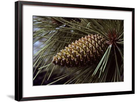 Ponderosa, Yellow Pine Cone--Framed Art Print