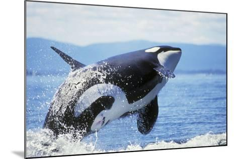 Orca Whale Breaching--Mounted Photographic Print