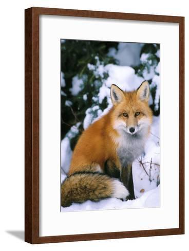 Red Fox in Snow--Framed Art Print