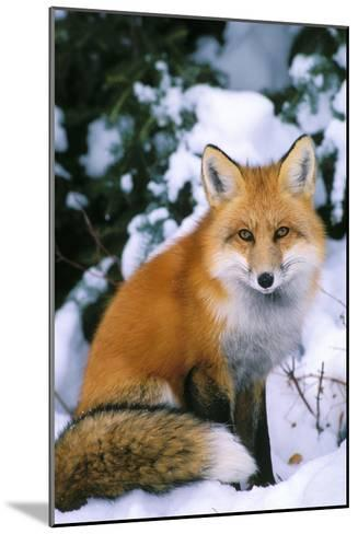 Red Fox in Snow--Mounted Photographic Print
