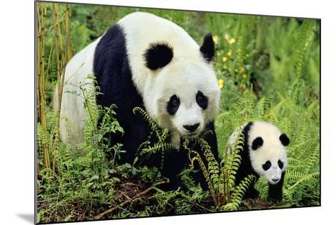 Giant Panda Mother and Young Cub--Mounted Photographic Print