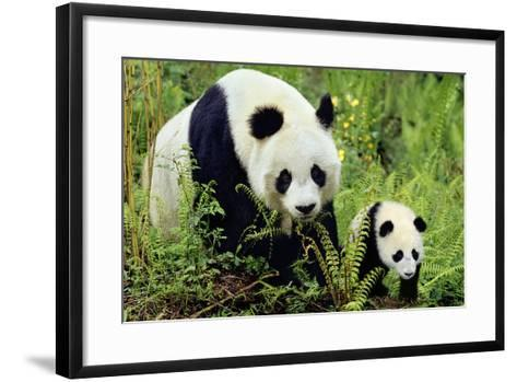 Giant Panda Mother and Young Cub--Framed Art Print