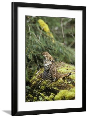 Ruffed Grouse Drumming (Spring Mating-Territorial Display)--Framed Art Print