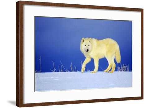 Arctic Gray Wolf in Winter Snow--Framed Art Print