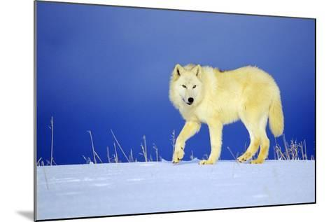 Arctic Gray Wolf in Winter Snow--Mounted Photographic Print