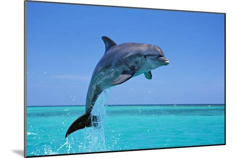 Bottlenosed Dolphin Leaping Out of Water--Mounted Photographic Print