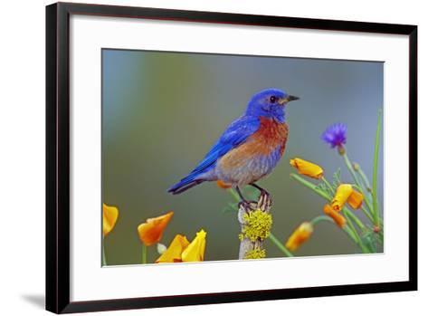 Western Bluebird Male--Framed Art Print