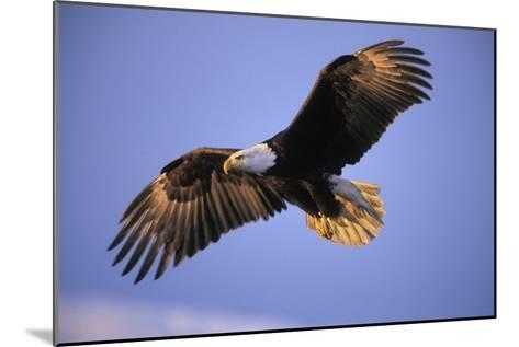 Bald Eagle in Flight, Early Morning Light--Mounted Photographic Print