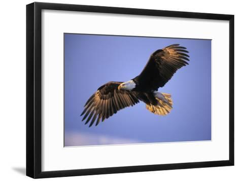 Bald Eagle in Flight, Early Morning Light--Framed Art Print