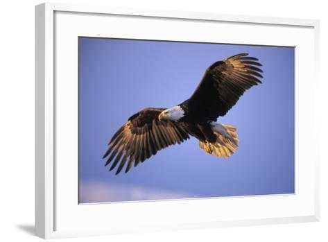 Bald Eagle in Flight, Early Morning Light--Framed Art Print